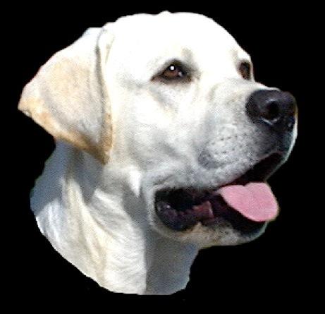 Labrador & Cavalier puppies for sale  English type Labrador